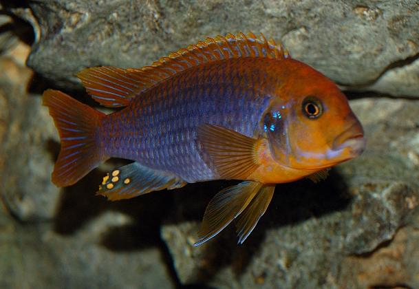 Feed Your Cichlid Fish The Right Way-All The Ideas You Need